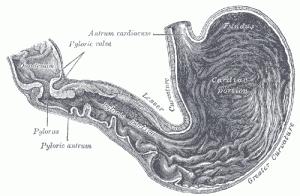 Diagramm eines Magens (zu Jacques Lacan, Das Unbewusste ist strukturiert wie eine Sprache)